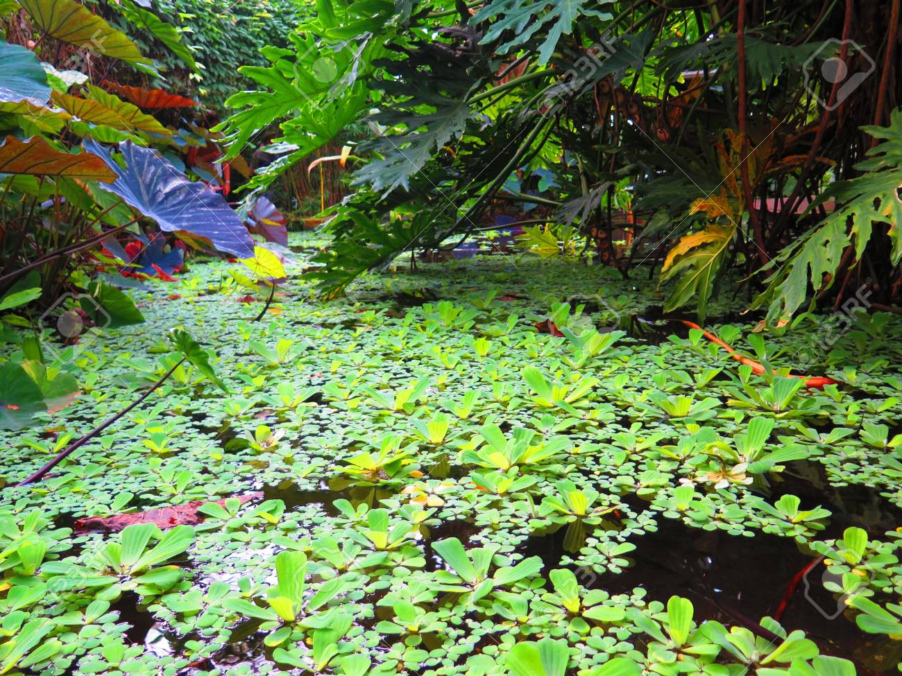 Tropical variegated plants in pond in the Living Rainforest,..