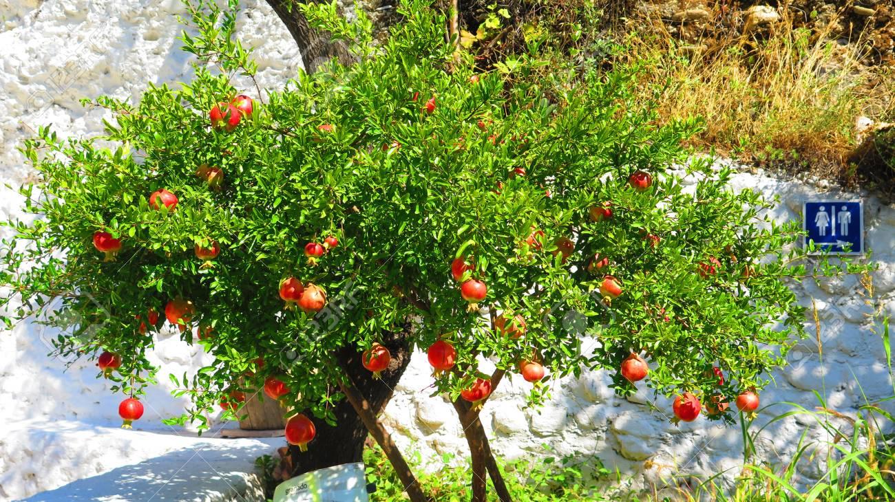 ripe pomegranate fruit on tree in granada cave village andalusia