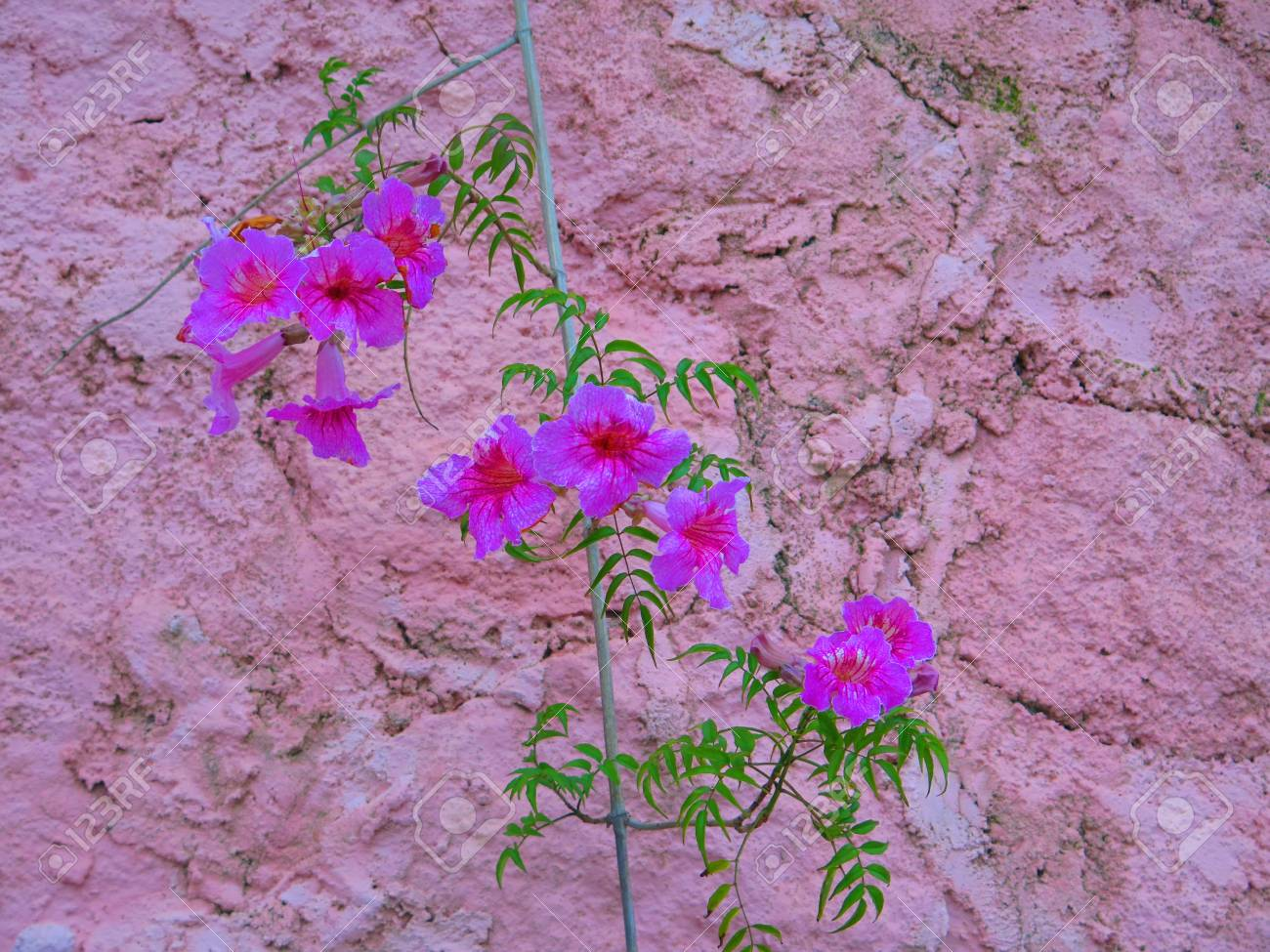 Climbing Bower Vine Showing Purple Flowers Against Pink Wall