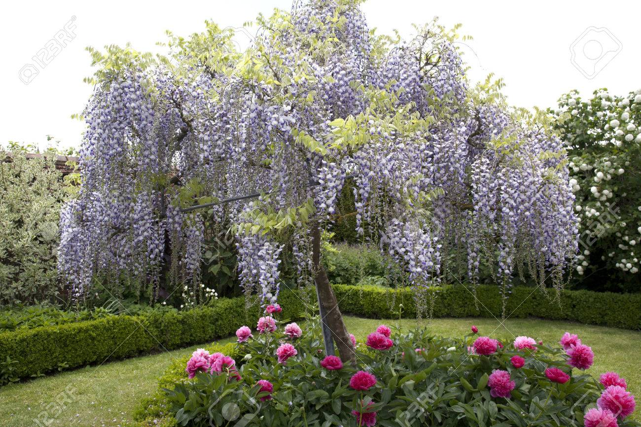 Wisteria Tree Stock Photo Picture And Royalty Free Image Image
