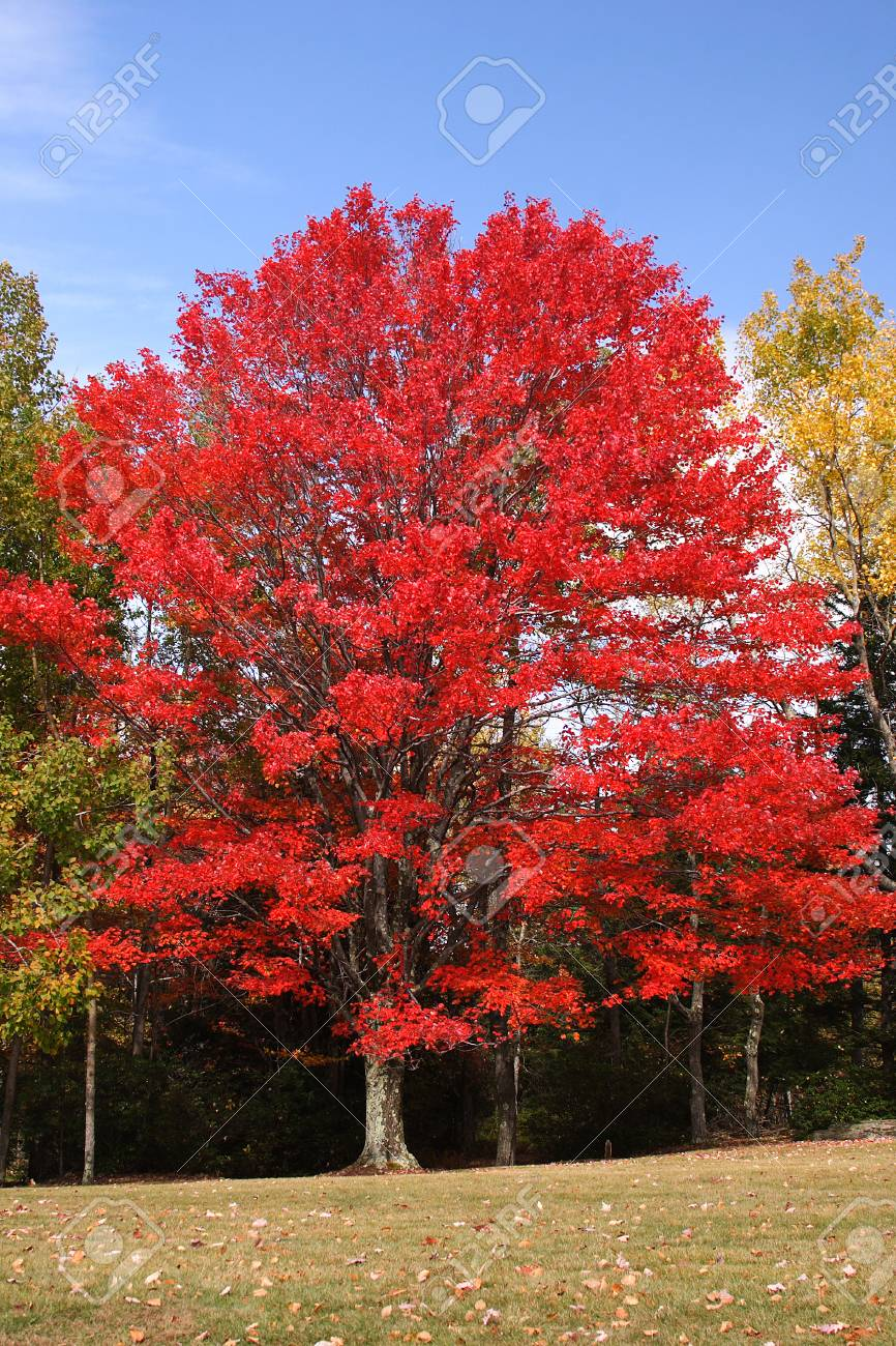 Red Maple Tree - 39801398