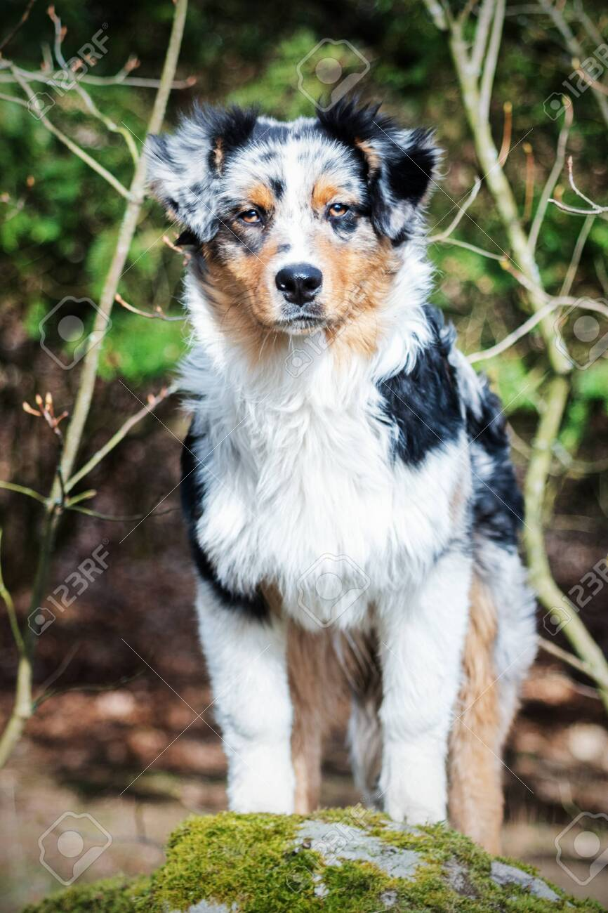 Cute Blue Merle Australian Shepherd Puppy In Nature Stock Photo Picture And Royalty Free Image Image 141818973