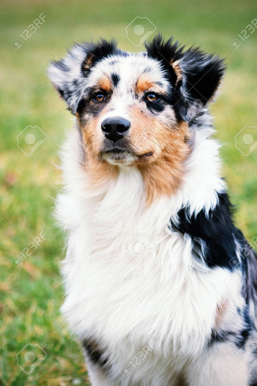 Cute Blue Merle Australian Shepherd Puppy In Nature Stock Photo Picture And Royalty Free Image Image 141818919