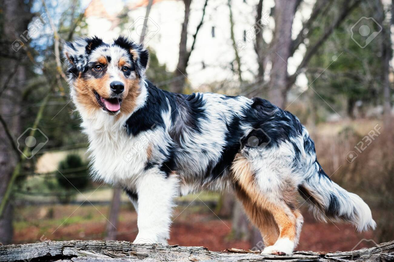 Cute Blue Merle Australian Shepherd Puppy In Nature Stock Photo Picture And Royalty Free Image Image 141819002