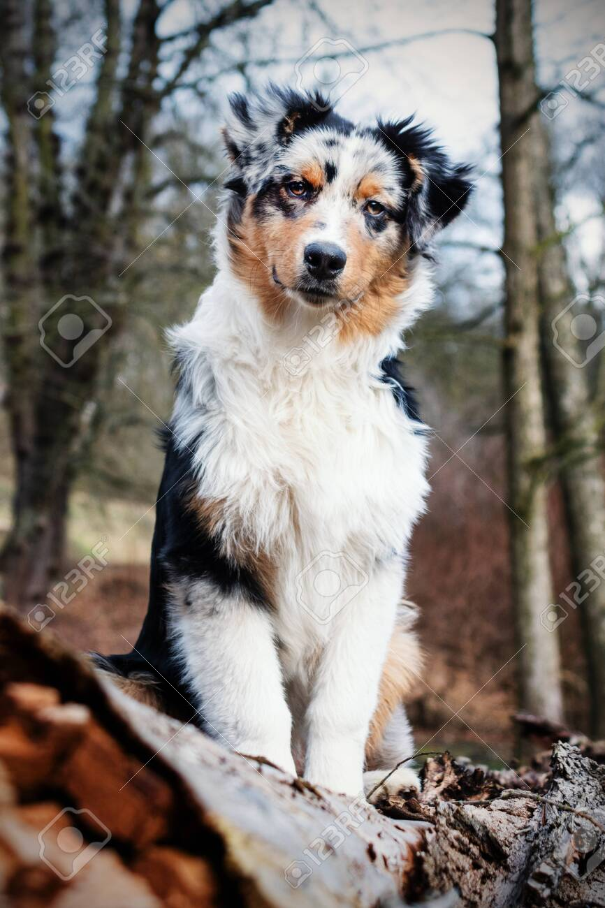 Cute Blue Merle Australian Shepherd Puppy In Nature Stock Photo Picture And Royalty Free Image Image 141818972