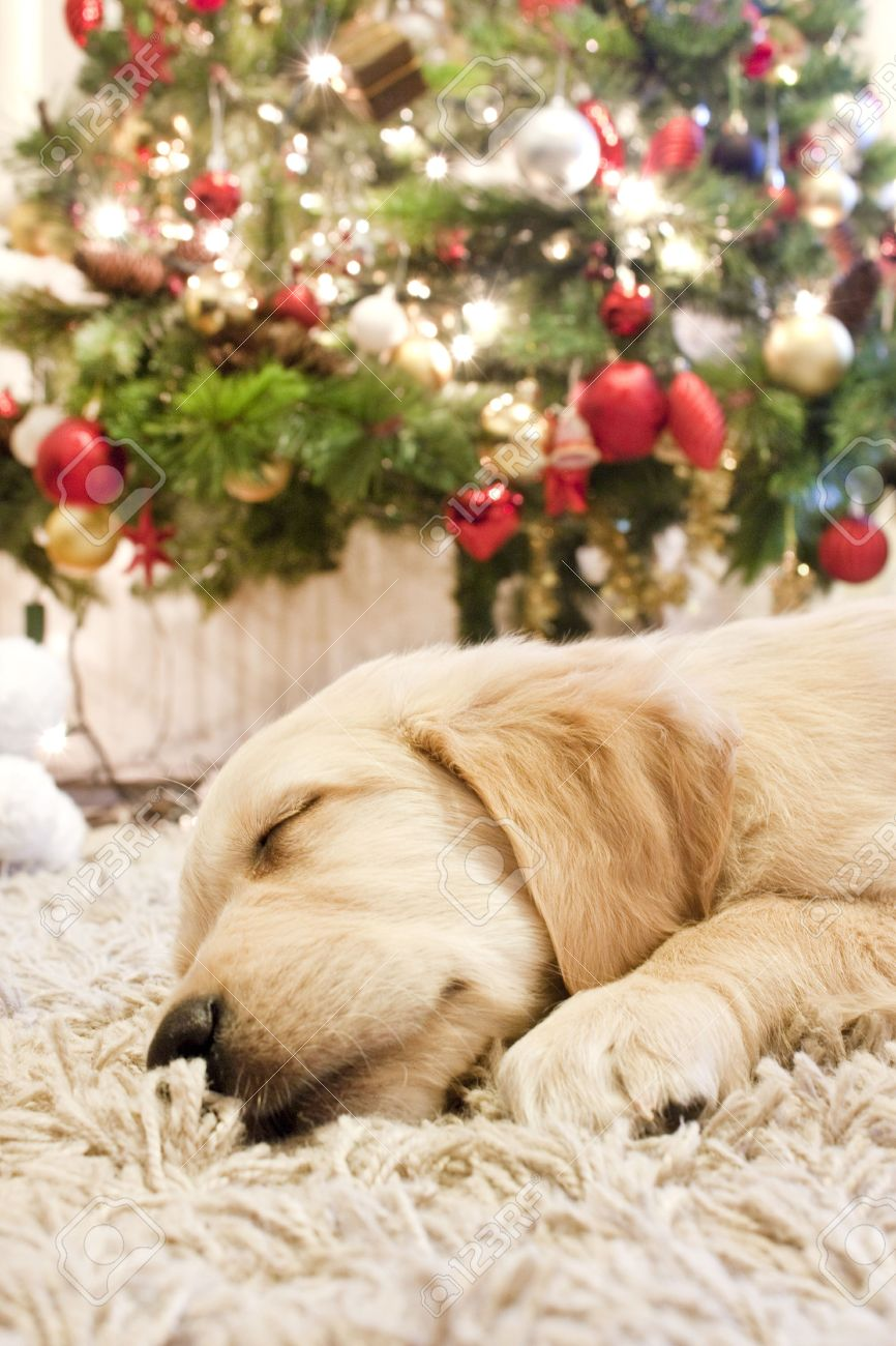 puppy golden retriever asleep in front of a christmas tree stock