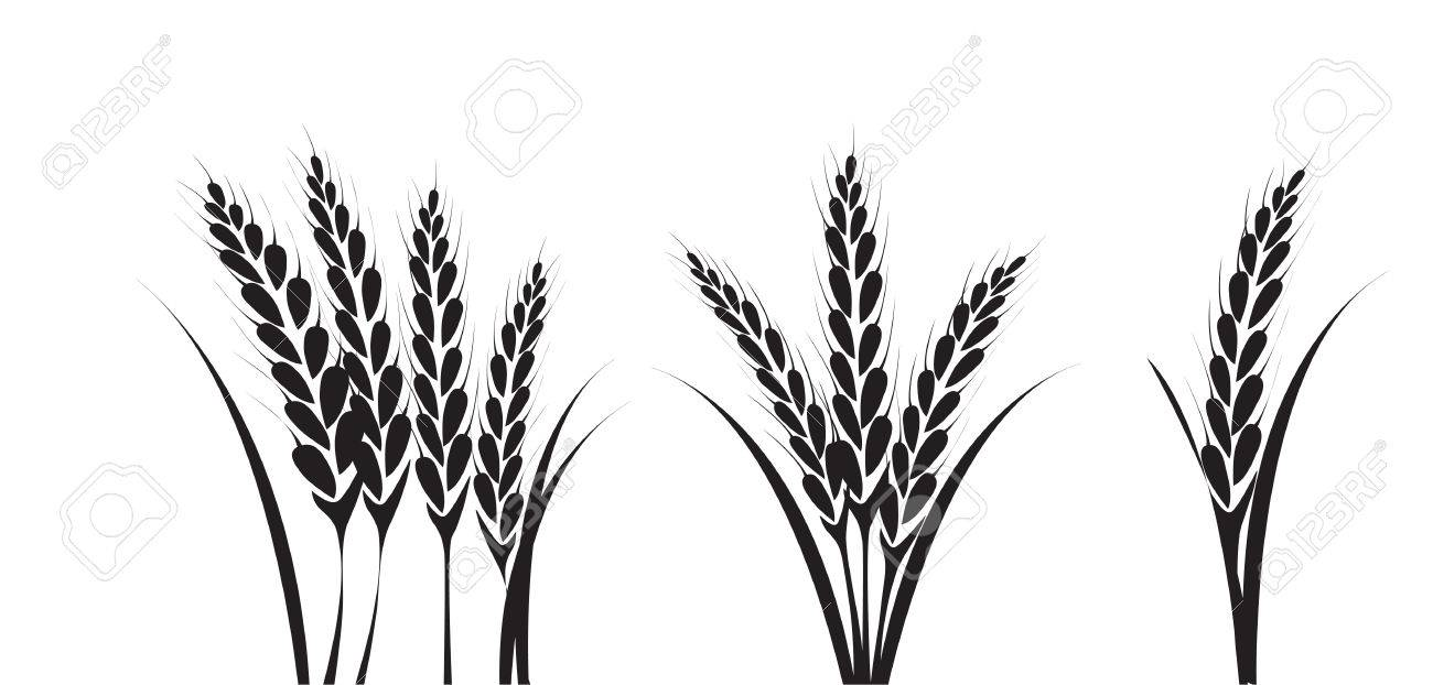 Shaft Single And Bundle Drawing Of Wheat Or Ear Of Corn Close
