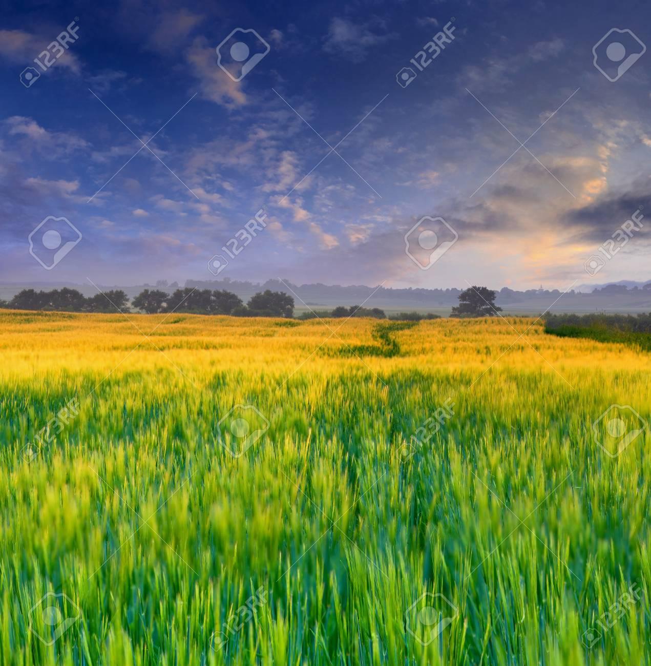 Wheat field at sunset Stock Photo - 13121274