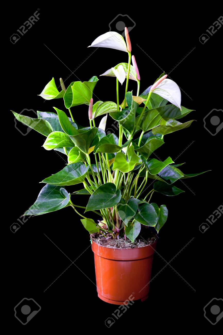 Blossoming plant of Anthurium/Flamingo flowers in flowerpot isolated on black Stock Photo - 13268428