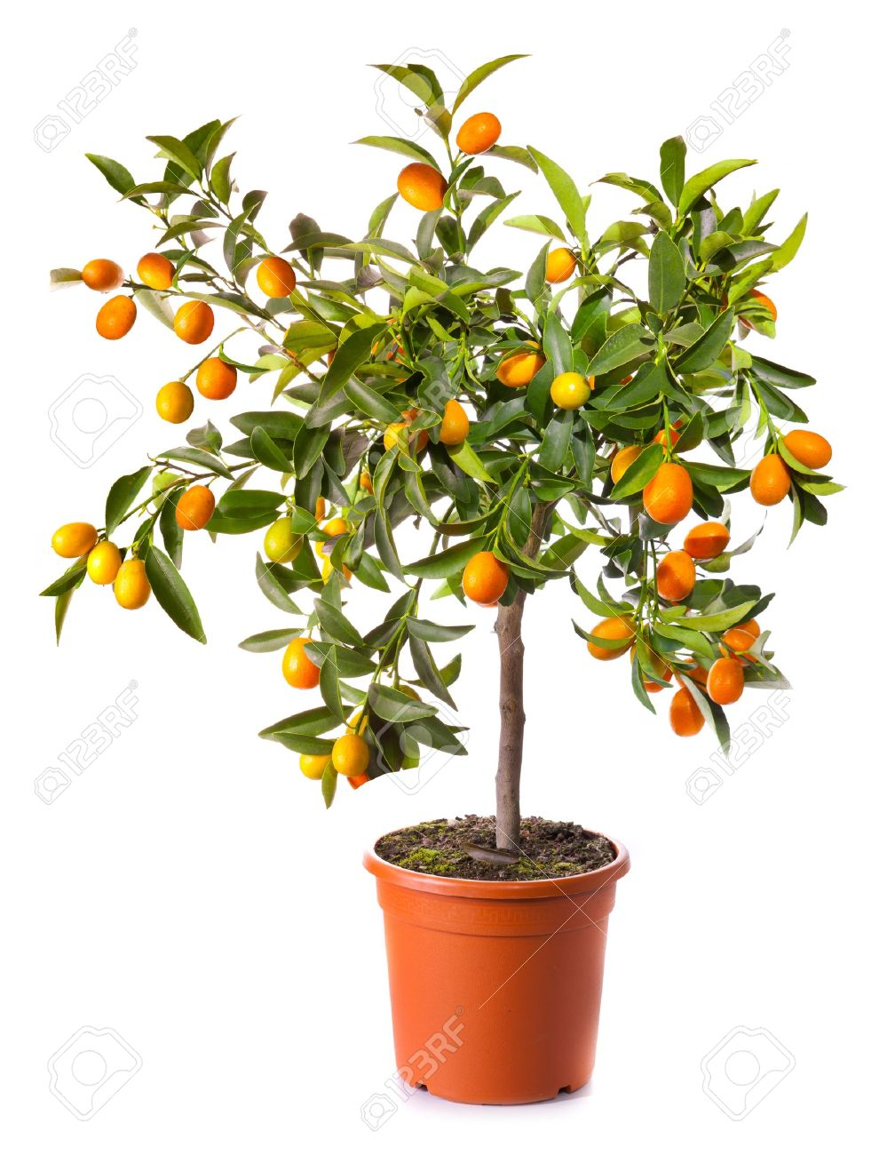 small citrus tree in the pot isolated on white stock photo