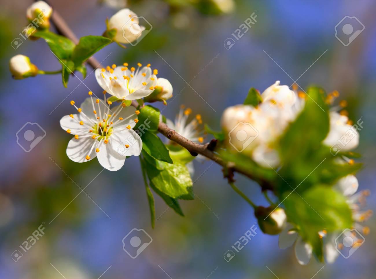Spring season white flowers of cherry stock photo picture and spring season white flowers of cherry stock photo 26376860 mightylinksfo