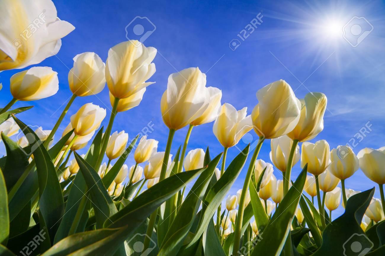 Springtime white tulips blossom on the netherlands farm beautiful springtime white tulips blossom on the netherlands farm beautiful flowers on the blue sky background mightylinksfo