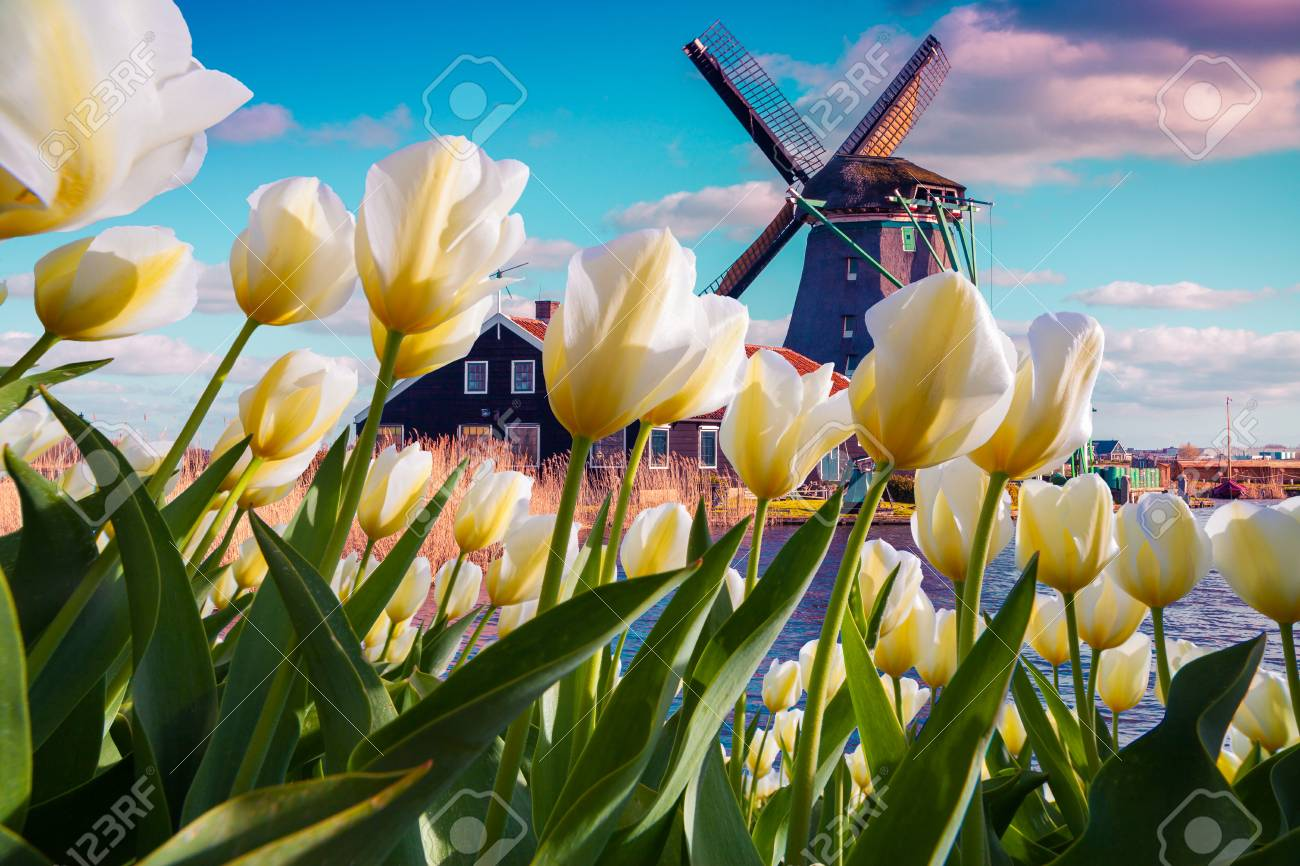 The famous Dutch windmills among blooming white tulip flowers. Sunny outdoor scene in the Netherlands. Beauty of countryside concept background. Creative collage. - 93306908