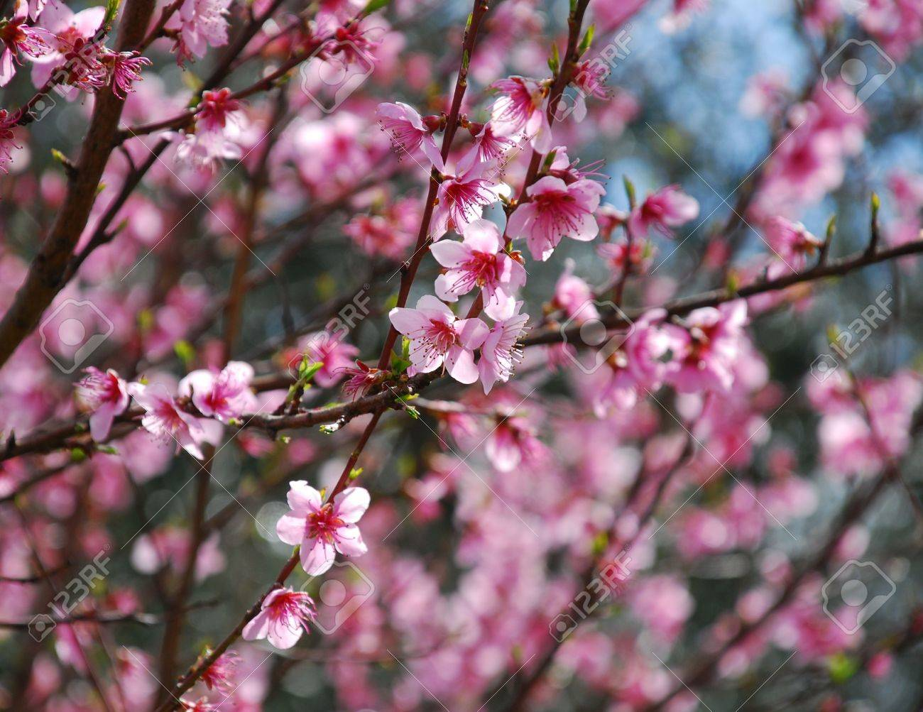A Fruit Tree Blossoming With Small Pink Flowers In Spring Stock
