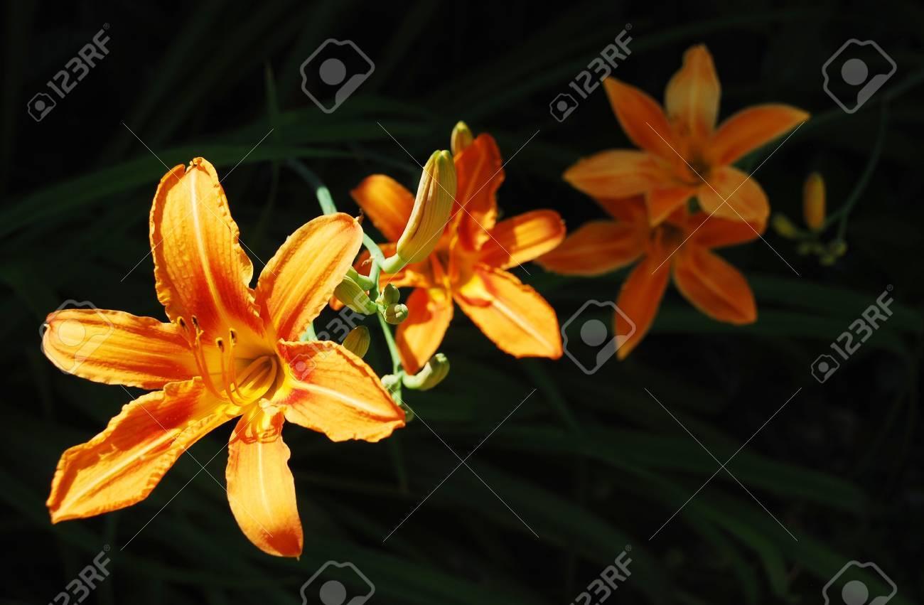 East Orange Focus >> Orange Lily Flowers Growing Wild In North East Italy The Focus