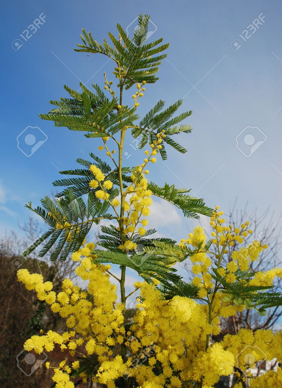 The Yellow Flowers Of The Mimosa Also Known As Acacia Dealbata