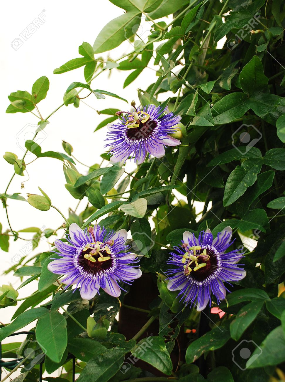 Three Purple Haze Passiflora Flower An Evergreen Tendril Climbing