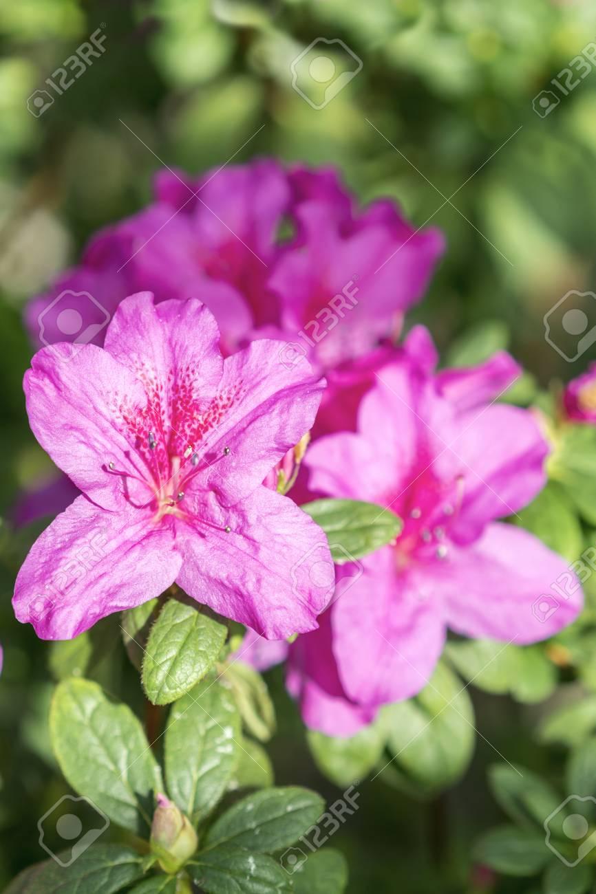 Big Violet Azalea Bush In The Garden Season Of Flowering Azaleas