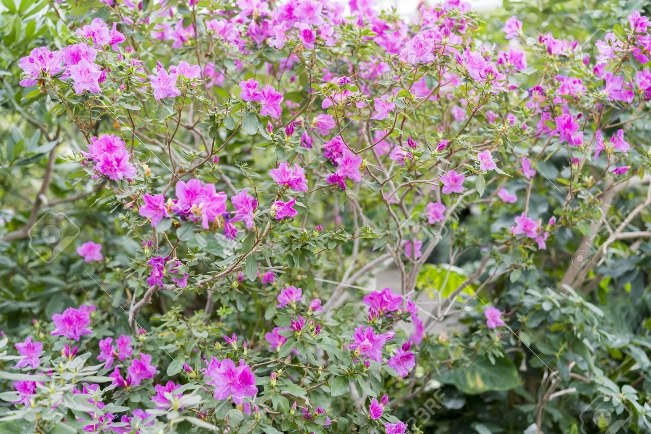 Big Pink Azalea Bush In The Garden Season Of Flowering Azaleas