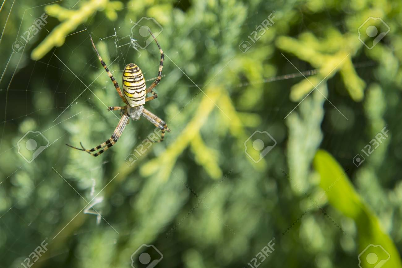 Big spider. Common black and yellow fat corn or garden spider..