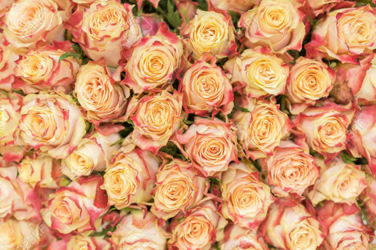 background of pink orange and peach roses natural background stock photo picture and royalty free image image 130201445 background of pink orange and peach roses natural background
