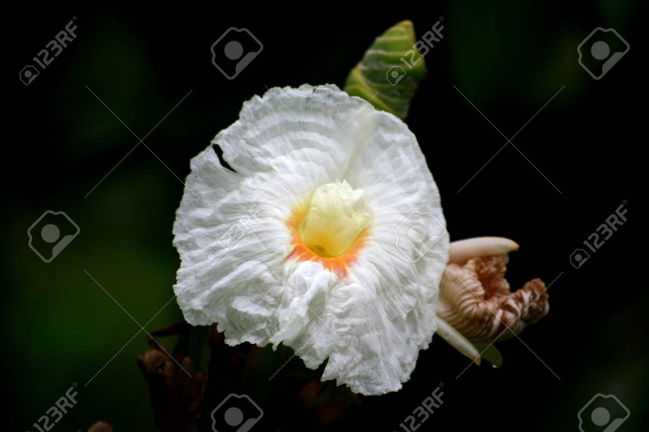 White Ginger Flower With Bokeh Background Stock Photo Picture And