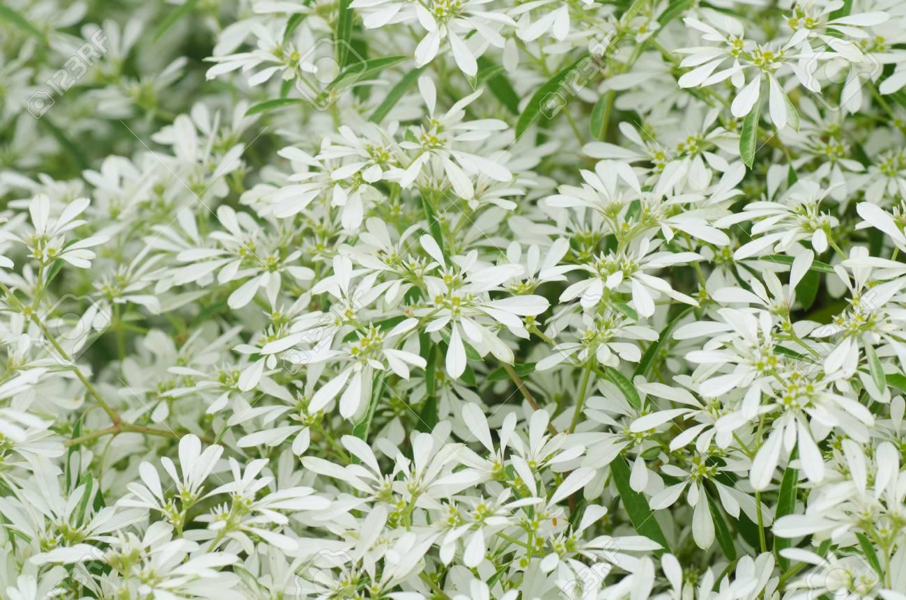 White Flowers Background Euphorbia Leucocephala Lotsy Stock