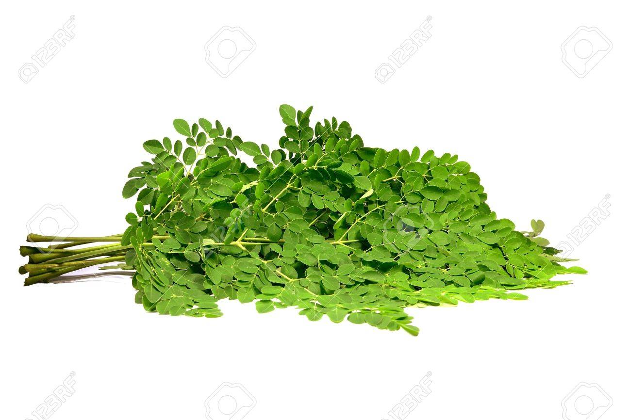 moringa oleifera branches Stock Photo - 12744222