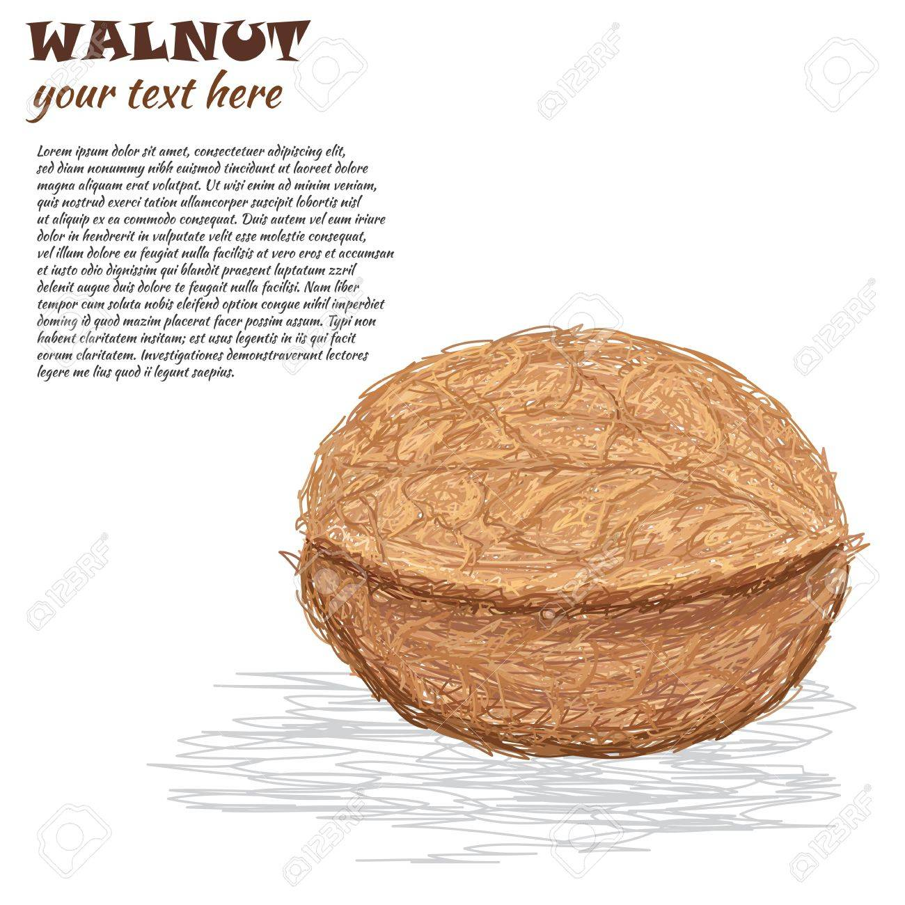 closeup illustration of a walnut isolated in white background. Stock Vector - 15194598