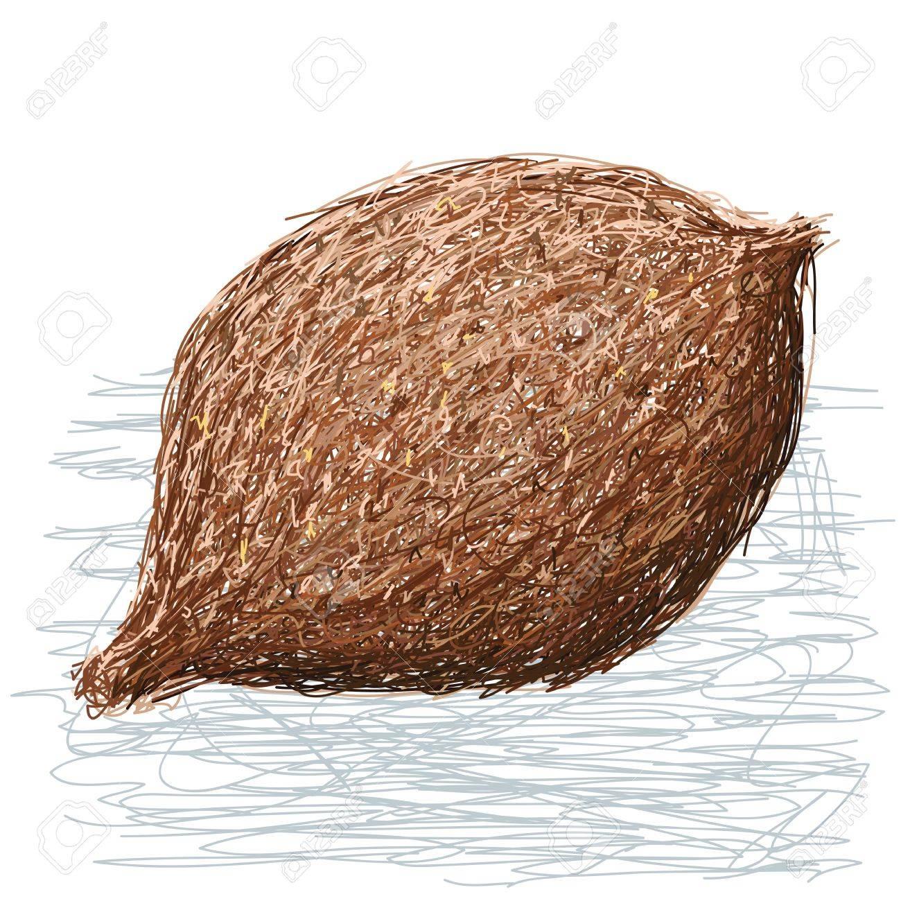 illustration of whole false durian nut fruit. scientific name Pangium edule. Stock Vector - 18373562