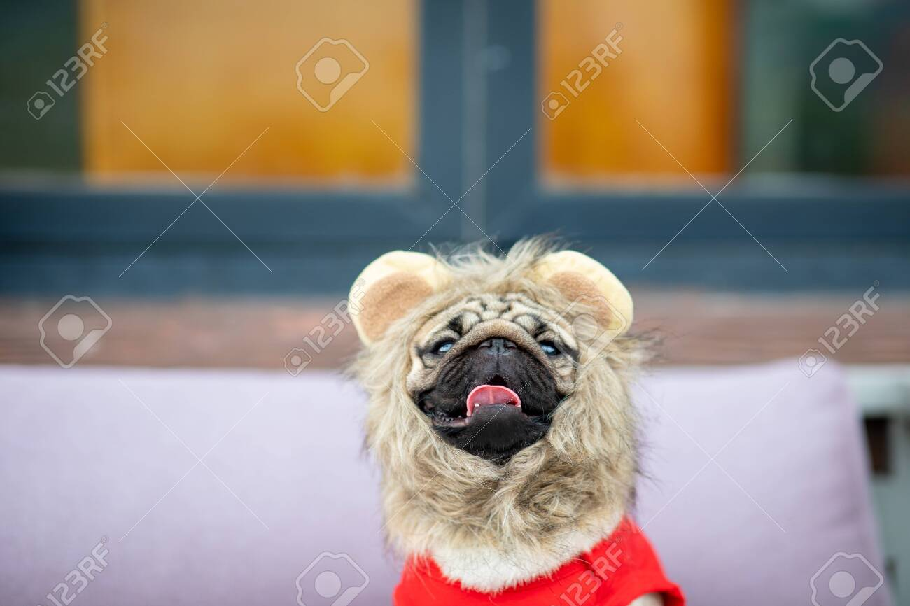 Cute Dog Pug Wearing Lion Costume And Lying Smile With Happiness Stock Photo Picture And Royalty Free Image Image 142662692