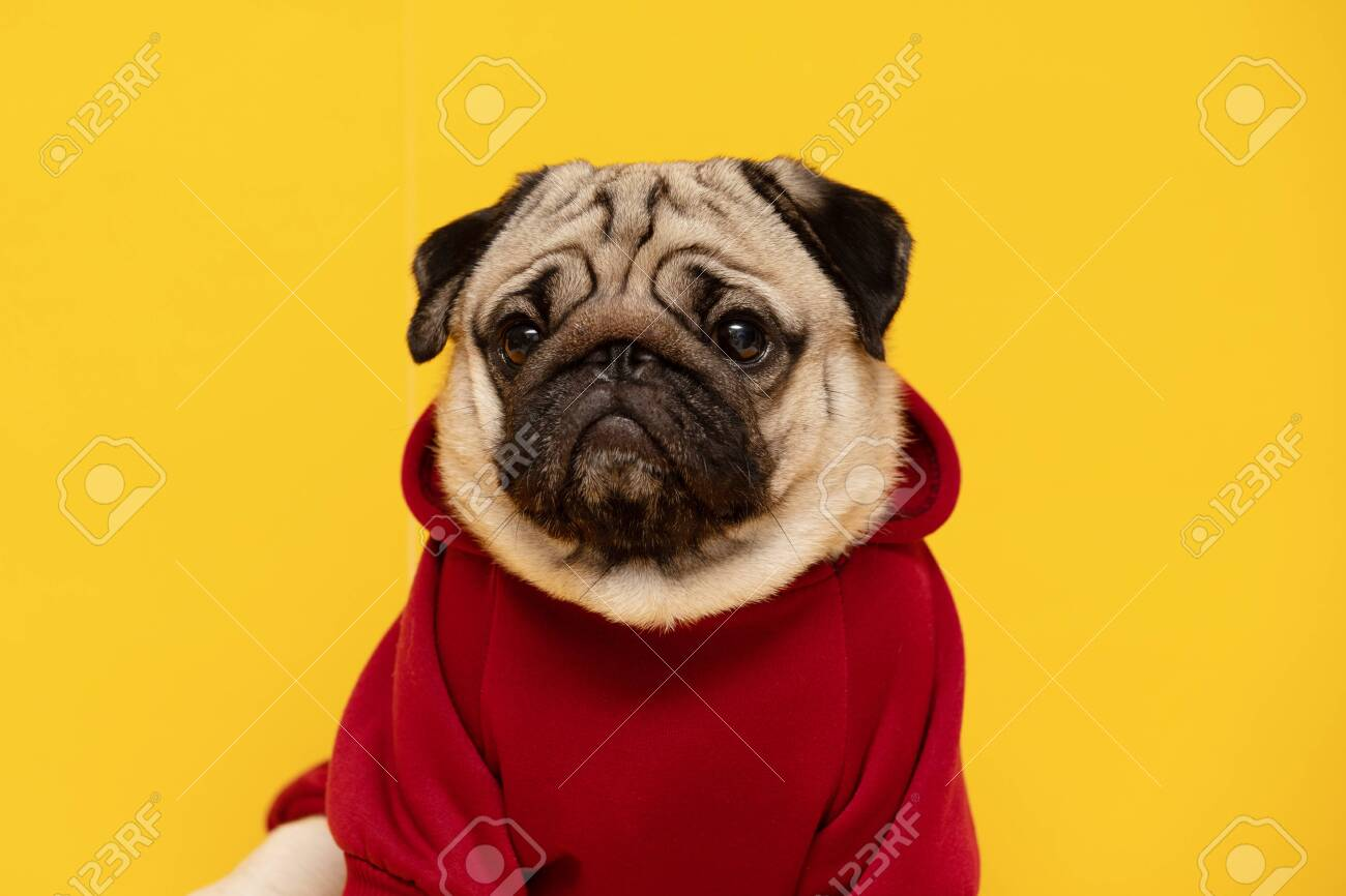 Happy Dog Smile On Yellow Background Cute Puppy Pug Breed Happiness Stock Photo Picture And Royalty Free Image Image 143089180