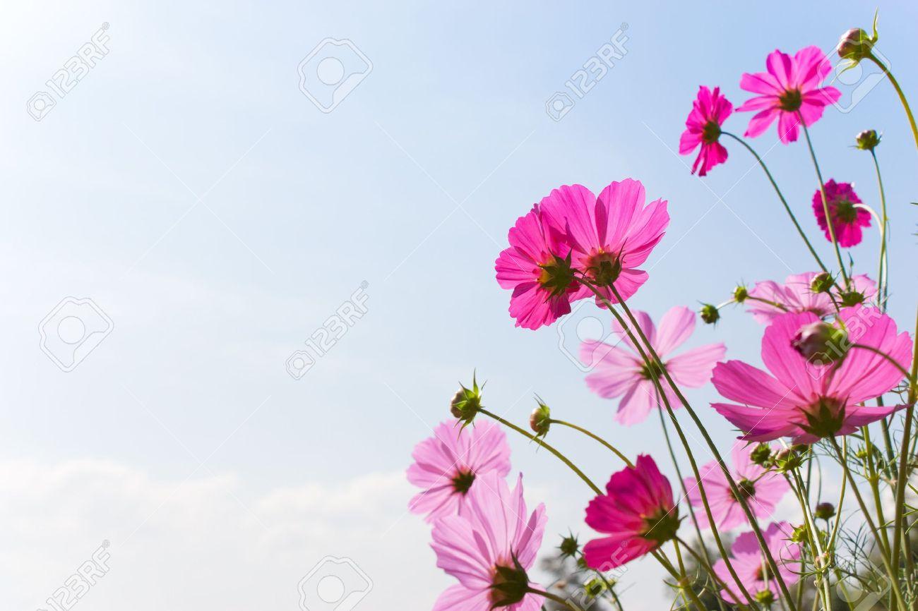 Fleur Rose En Fleurs Dans Une Belle Journee Banque D Images Et