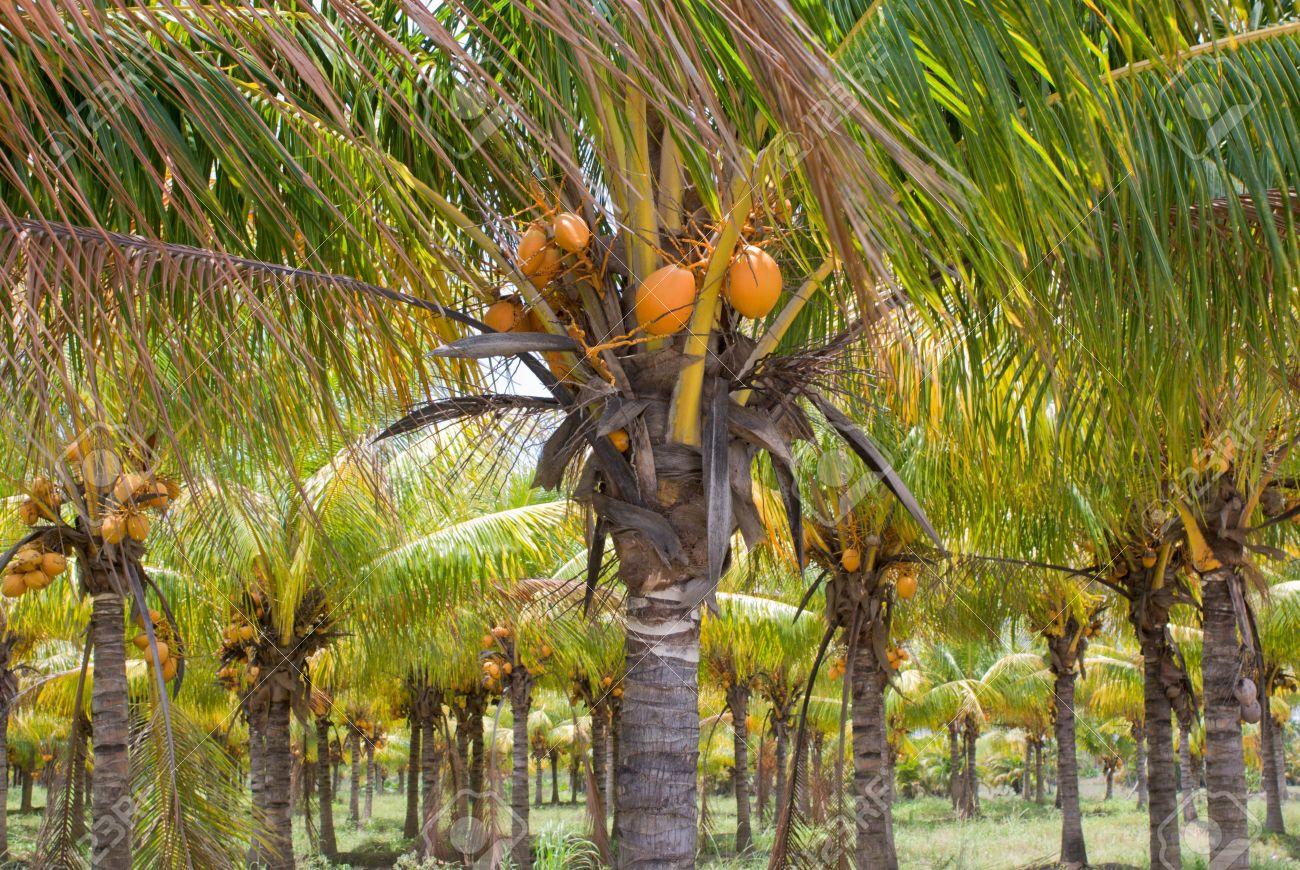 Plantation Or Grove Of Coconut Palm Trees Florida Stock Photo