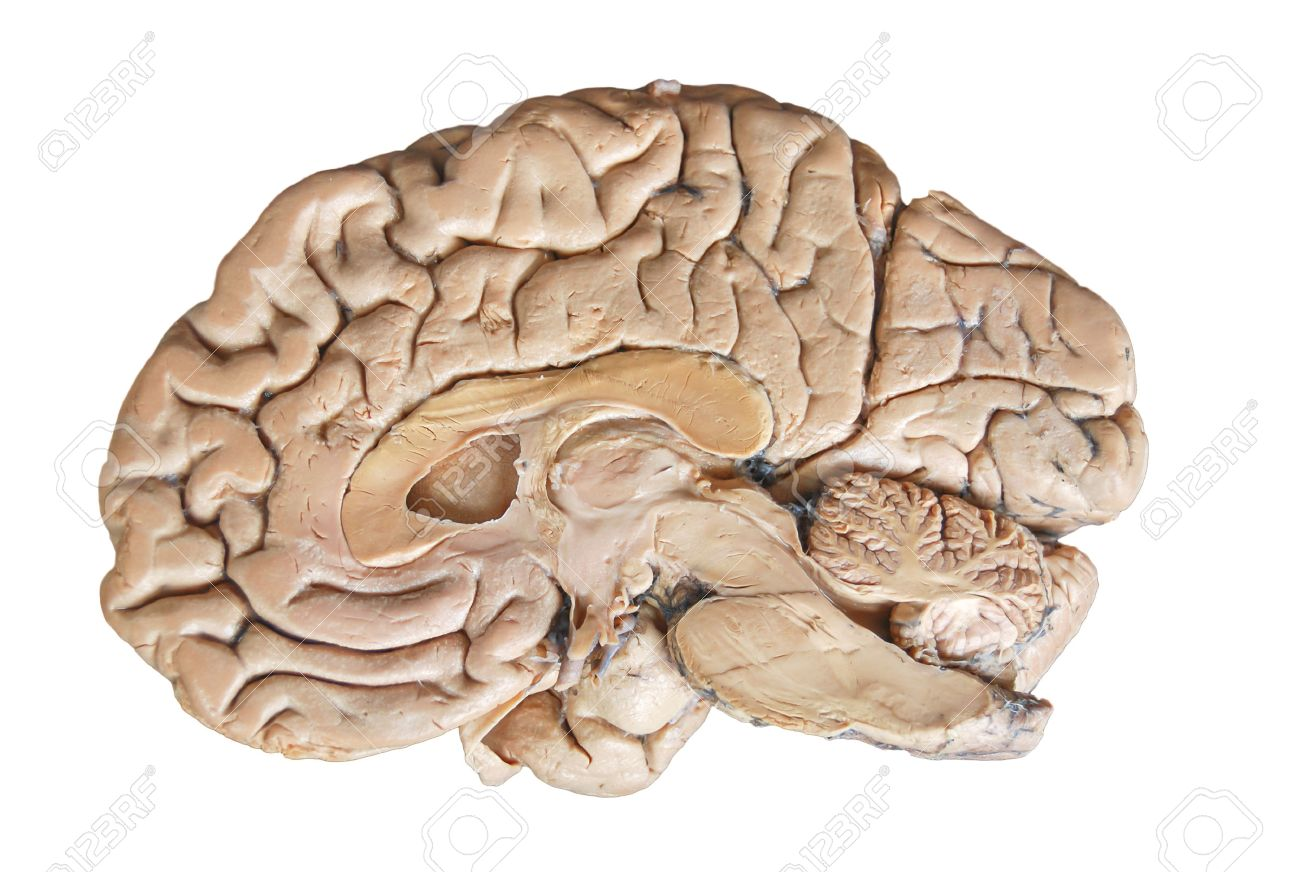 Real Human Half Brain Anatomy Isolated On White Background Stock