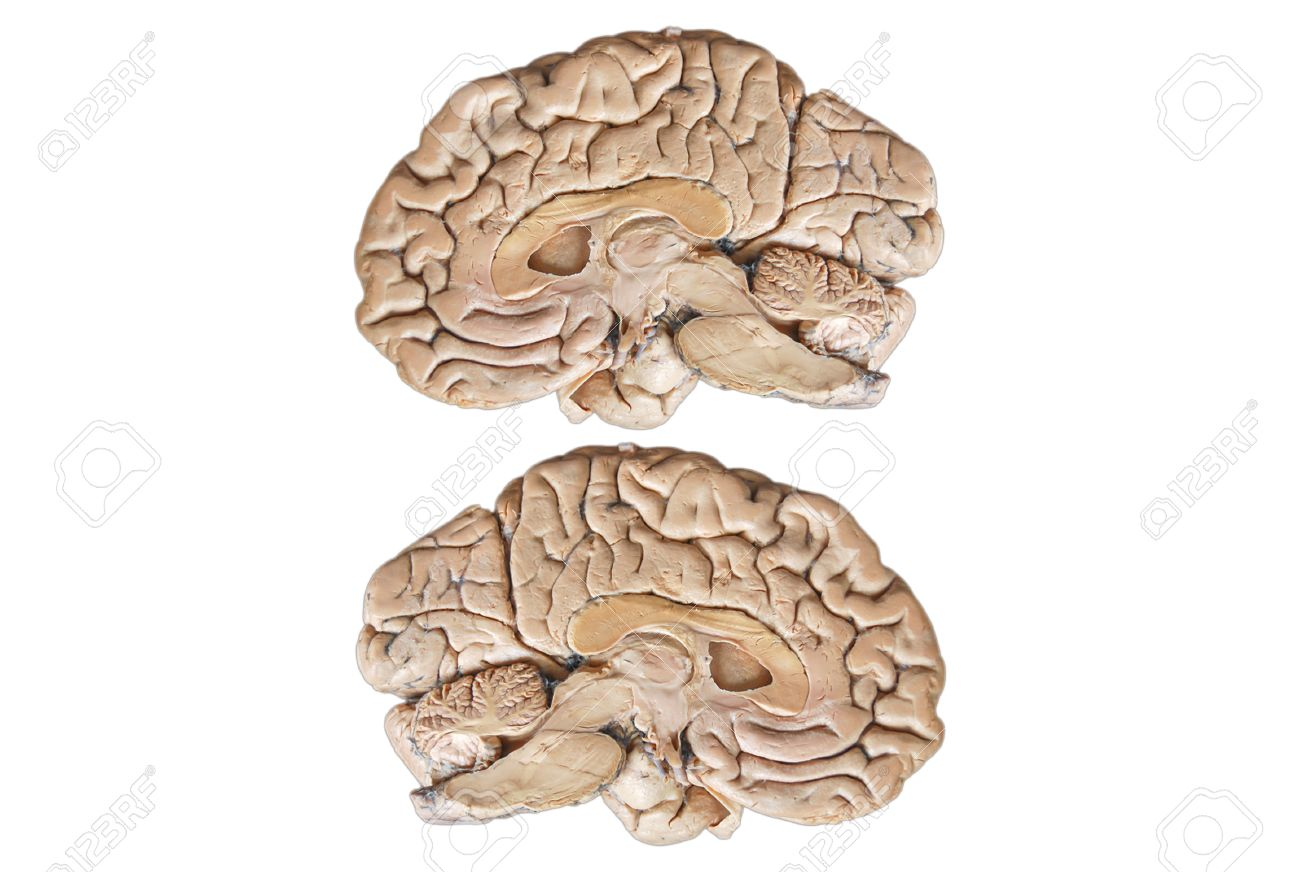 Real Two Human Half Brain Anatomy Isolated On White Background Stock ...