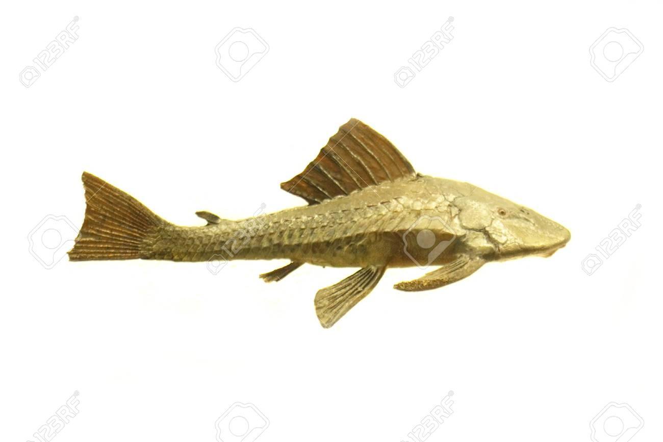 exotic fish on the white background Stock Photo - 3635611