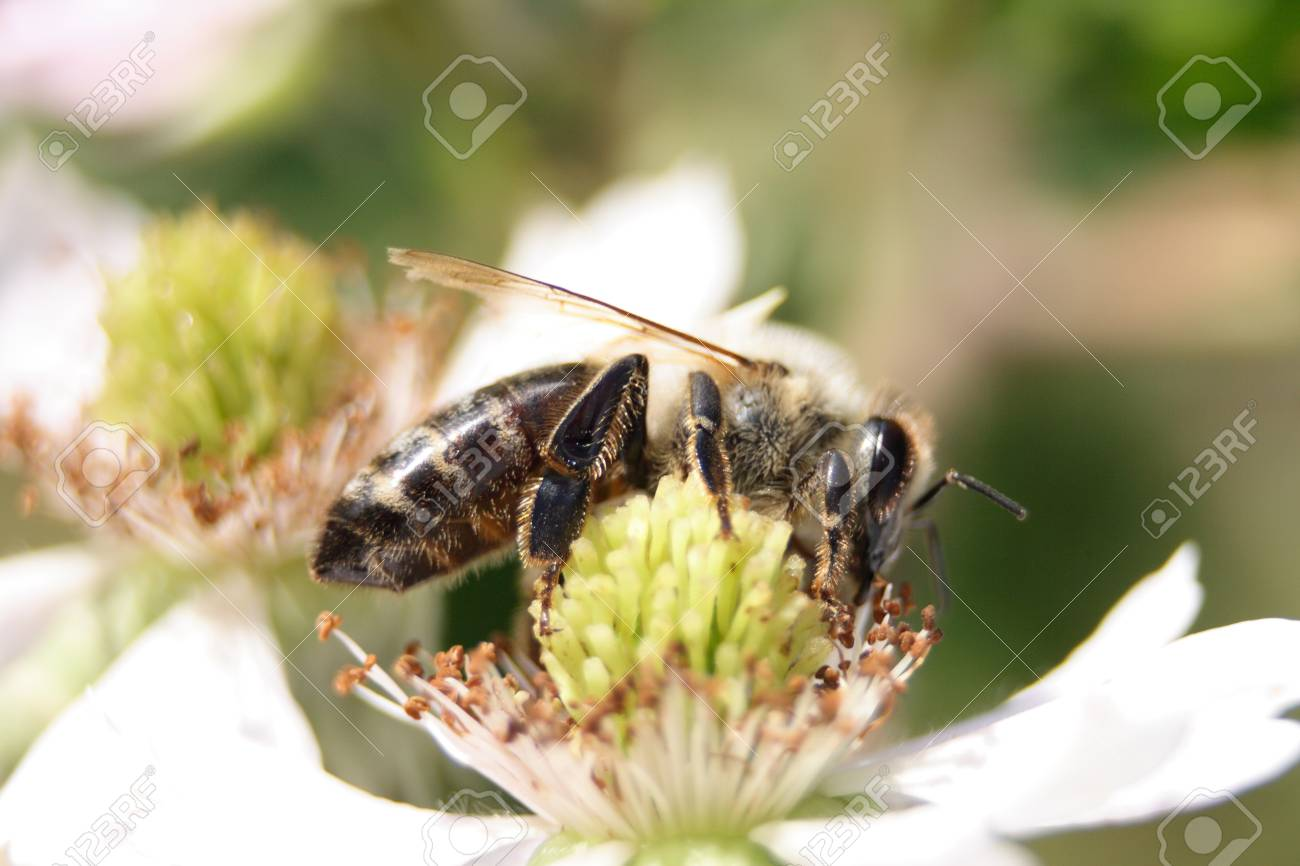small bee on the white spring flower Stock Photo - 4029590