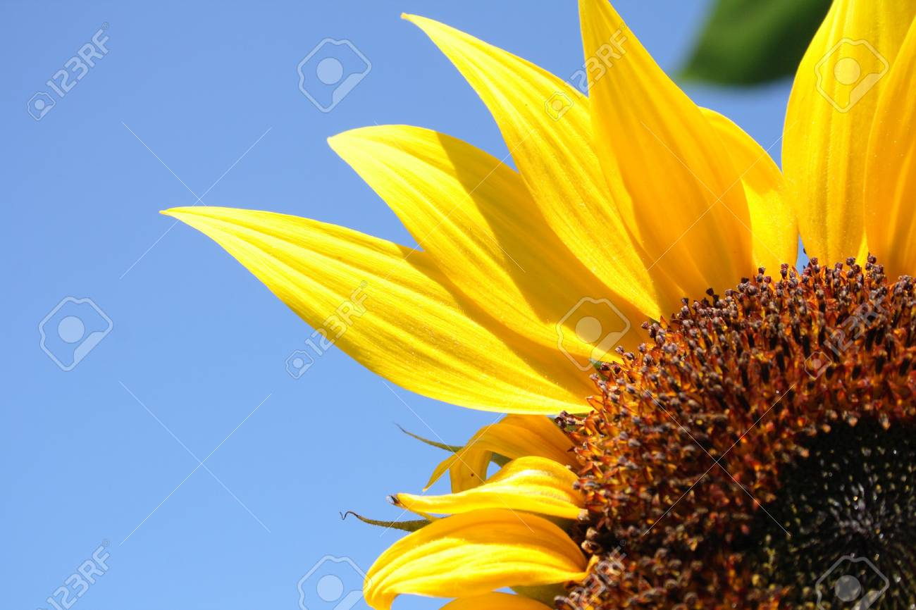 fresh sunflower on the blue sky background Stock Photo - 4162042