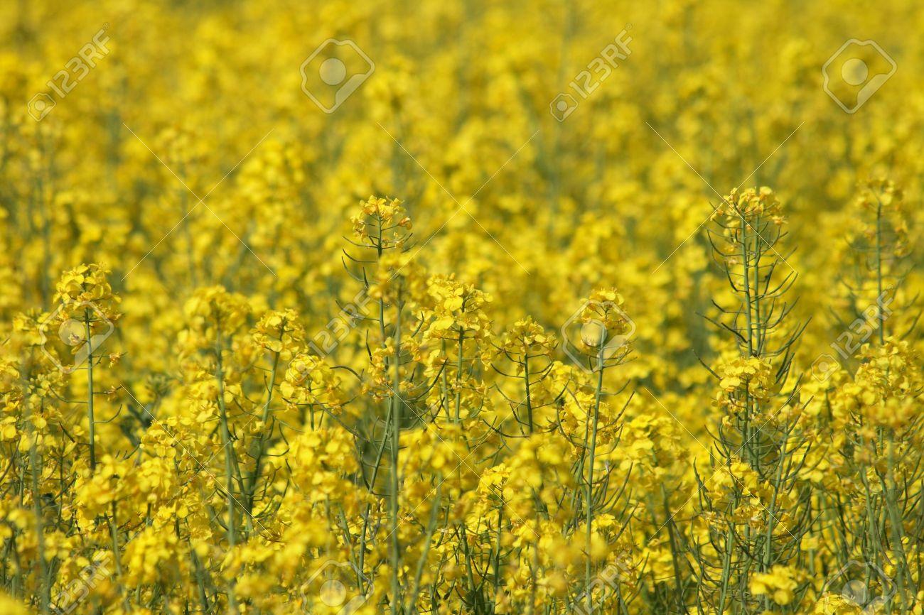 nice fleur jaune naturel des champs de printemps banque duimages