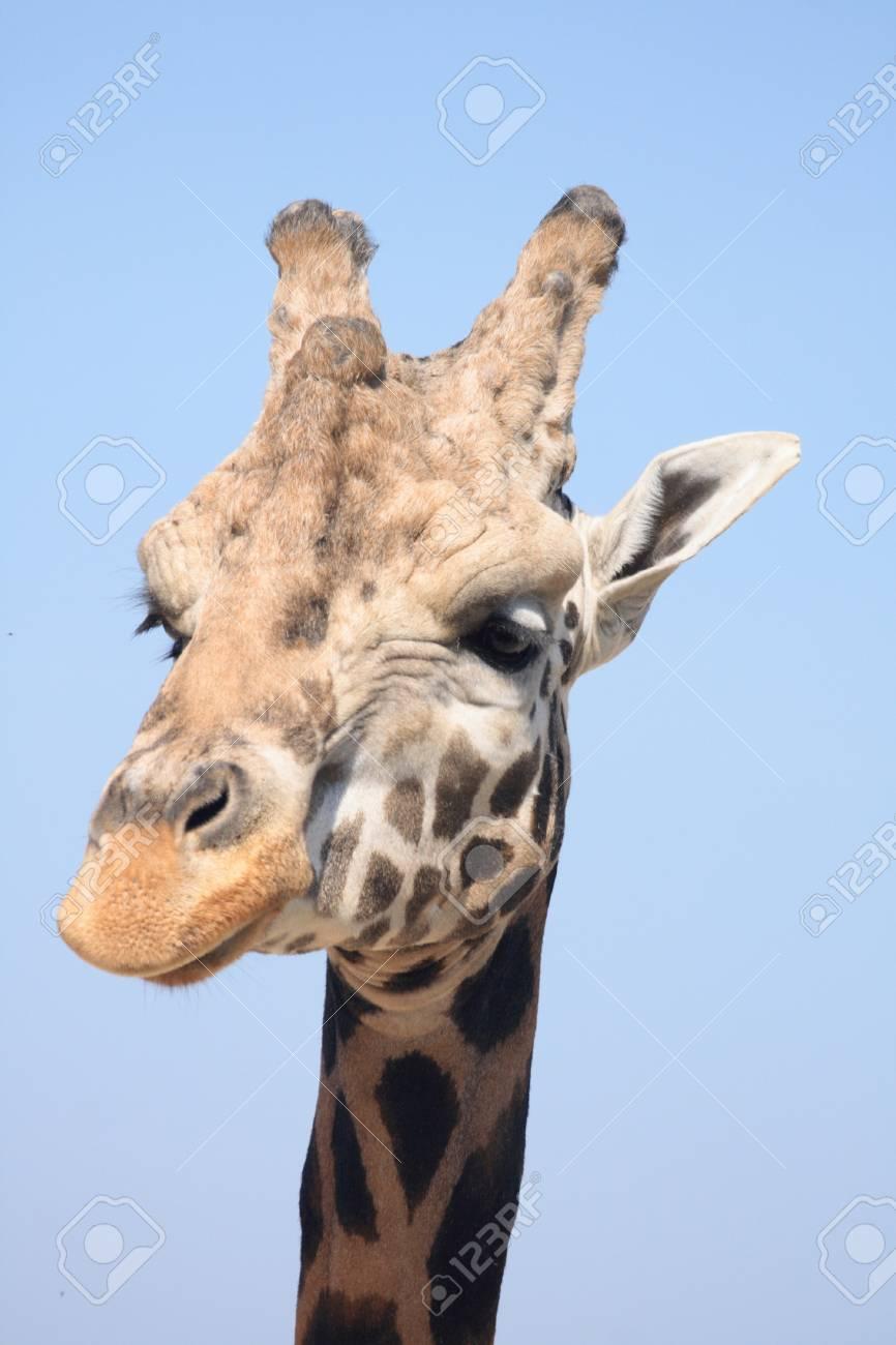 very nice giraffe from the wild nature Stock Photo - 7848570