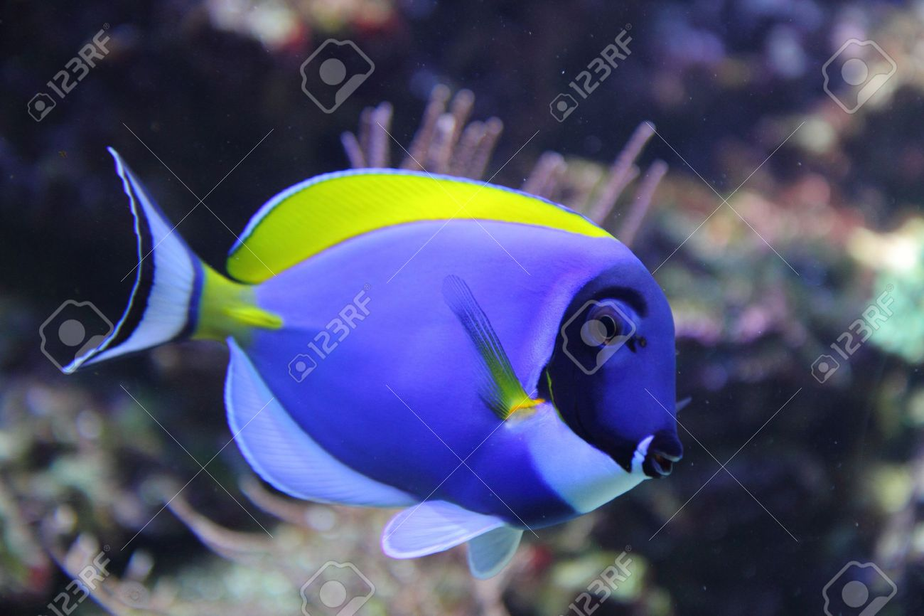exotic blue fish from the tropical sea Stock Photo - 9663868