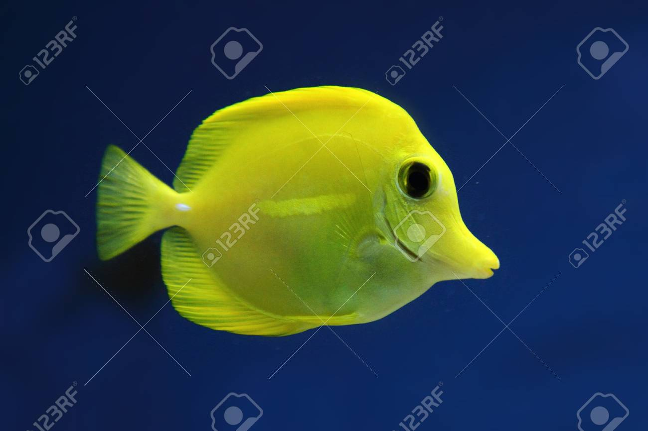 Exotis Fish In Ywllow Color On The Blue Background Stock Photo ...
