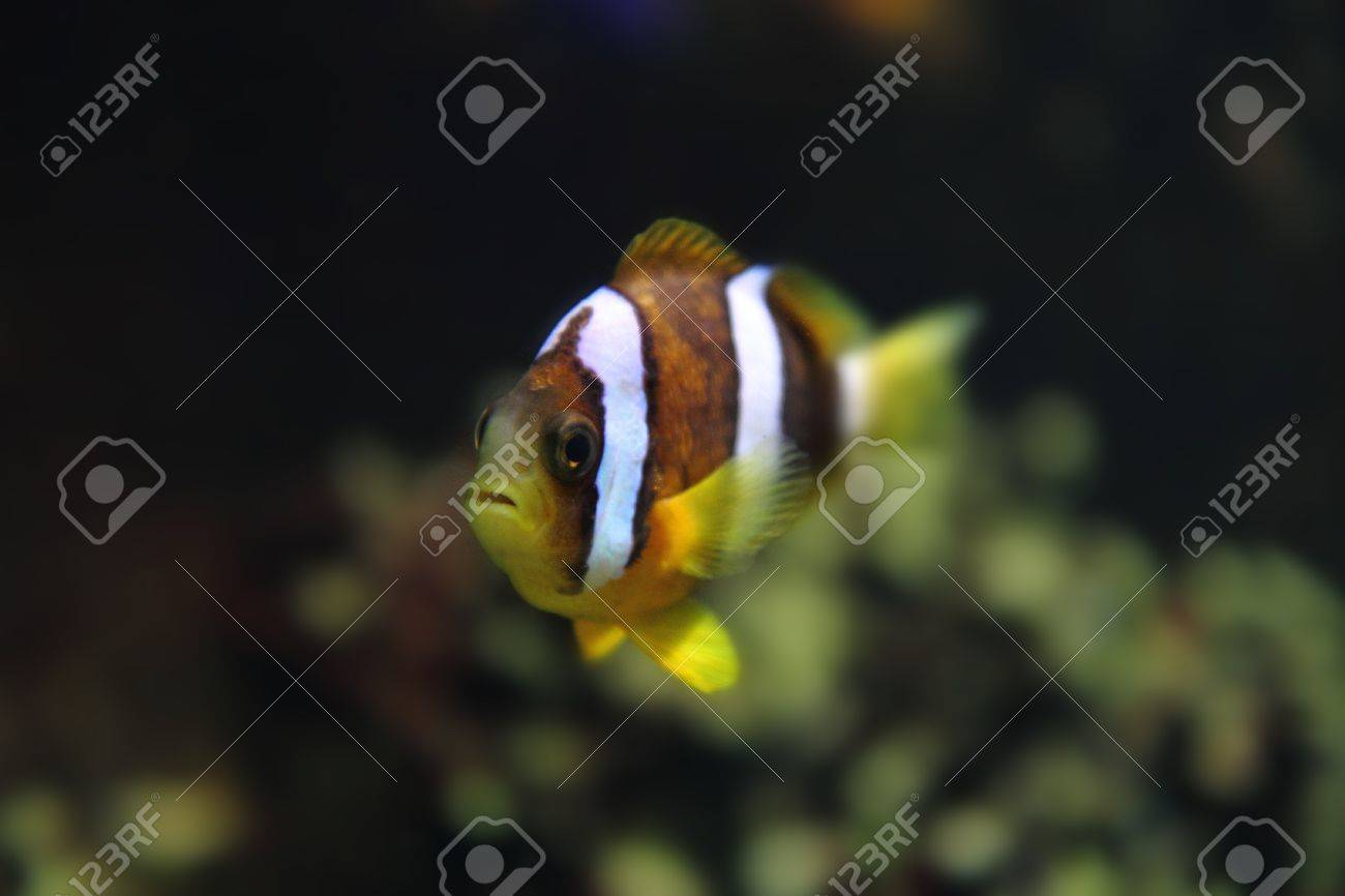 color clown fish in the aquarium background stock photo picture and