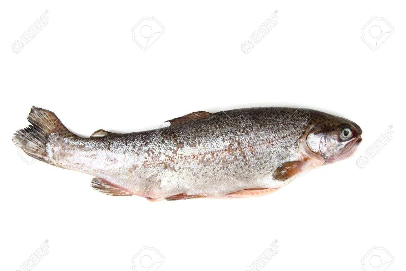 trout fish isolated on the white background Stock Photo - 13559960