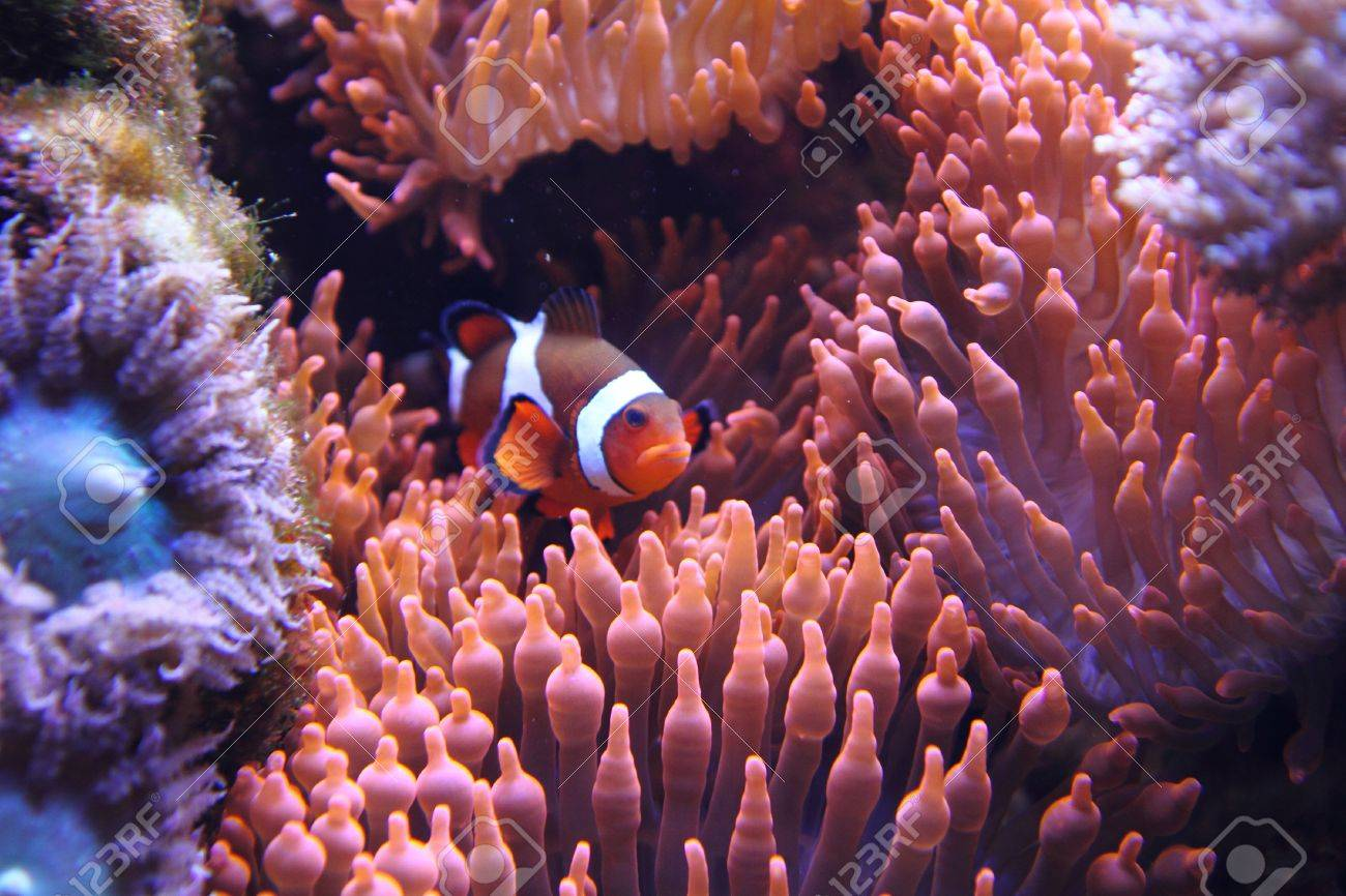 Clown Fish Nemo In The Red Sea With Corals Stock Photo, Picture And ...