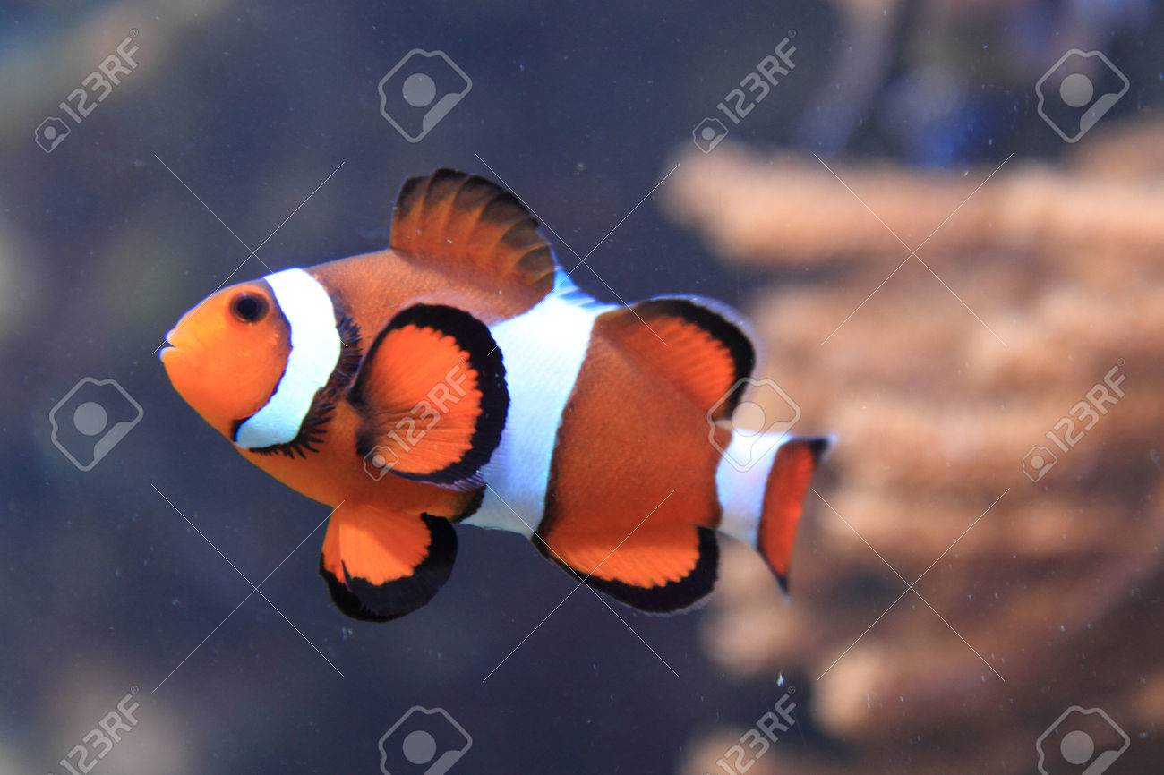 Orange Nemo Fish (clown Fish) In Aquarium Stock Photo, Picture And ...