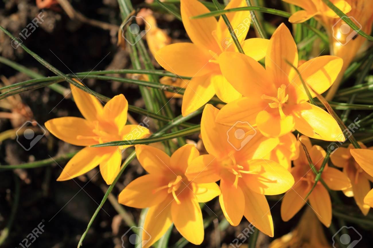 Yellow Crocus Flowers As Very Nice Spring Background Stock Photo