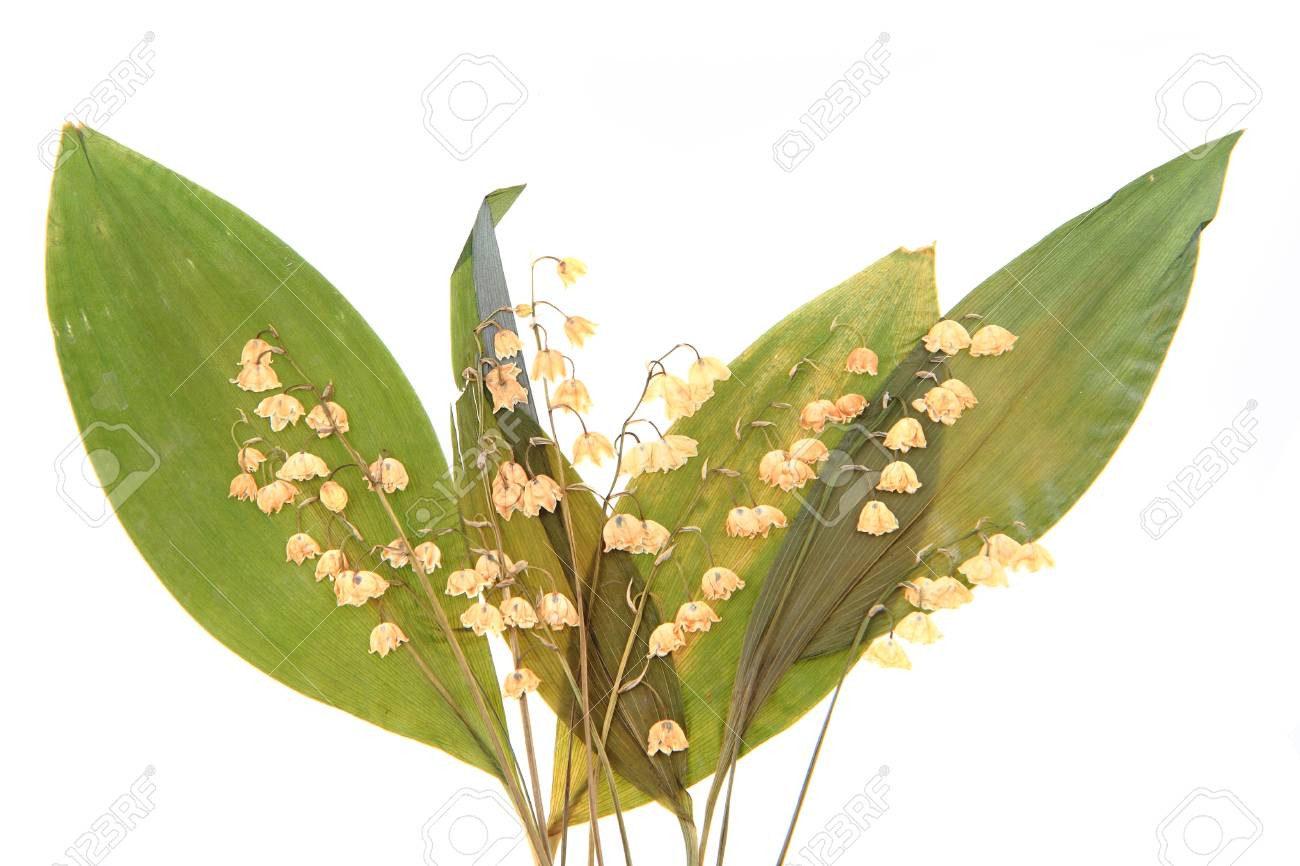 Dried Spring Flower Lily Of The Valley Stock Photo Picture And