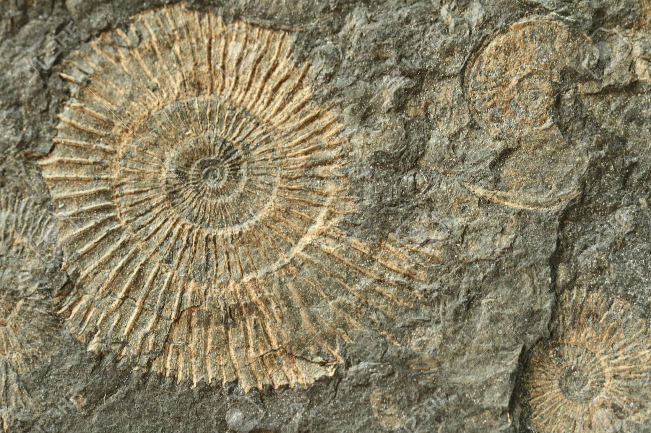 Fosili - Page 8 76262657-ammonites-fossil-texture-as-nice-natural-background
